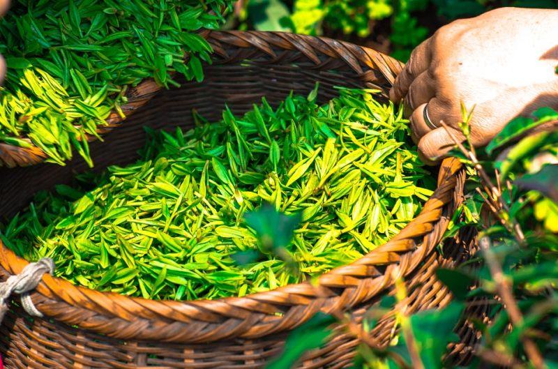leghatékonyabb fogyókúrás tea)
